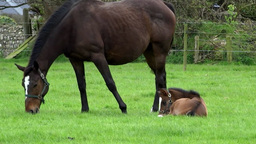 Mare And Foal 5 stock footage