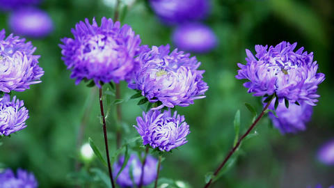 Flowers Asters stock footage