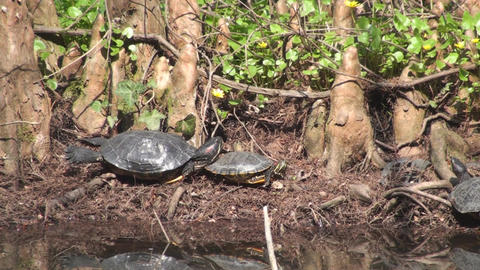 Wild Turtles Near A Pond, Nature, Green, Woods Clo stock footage