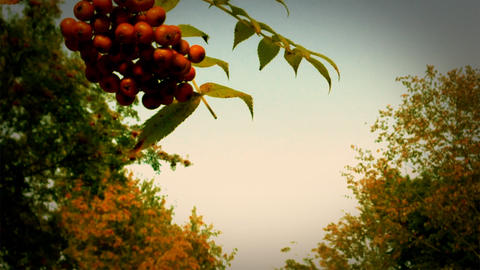 Japanese Rowan stock footage