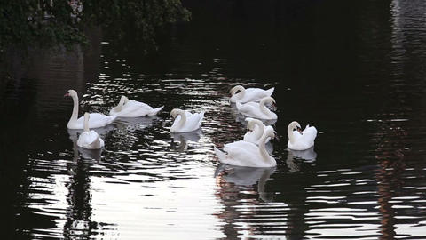 Swans swimming in the channel in Bruges, Belgium Footage