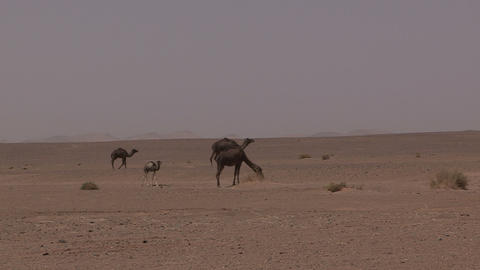FT 0070 Wild Camels Walk By 24 P No Aud PJ 95 Footage