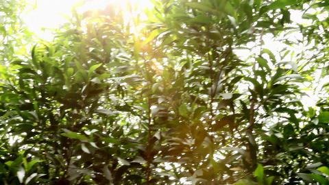 Pan sunshine leaves Footage