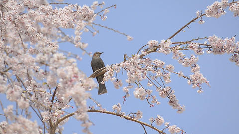 Bird And Cherry-blossom In Showa Kinen Park,Tokyo stock footage
