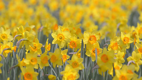 Flowers of Narcissus,in Showa Kinen Park,Tokyo Footage