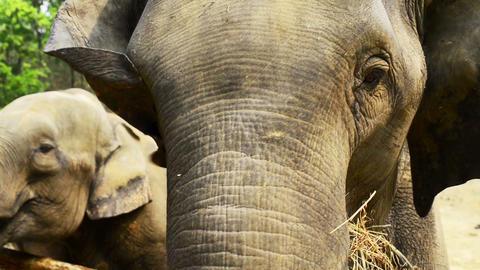 Elephant Eating Close Shot Live Action