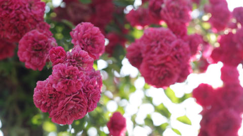 Opulent Rose Blossoms stock footage