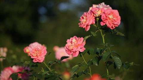 light pink roses Footage