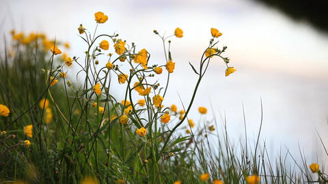 Pretty Yellow Wildflowers In Iceland stock footage