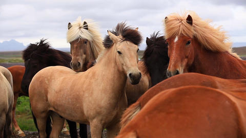 Brown Horses On Iceland stock footage