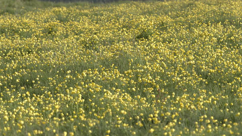 Yellow wildflowers in an Icelandic meadow Live Action