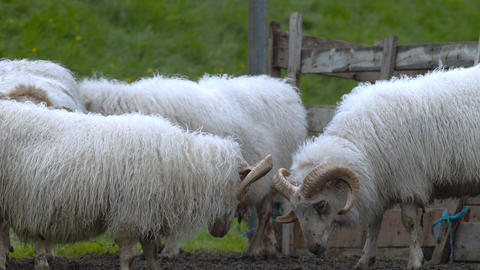 Icelandic sheep Footage