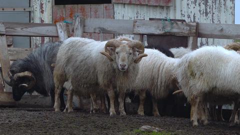 Icelandic sheep Footage