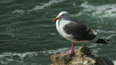 Seagull Sitting on a Rock by the Ocean Footage