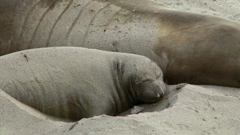Young Elephant Seal Flipping Sand on Its Back Footage