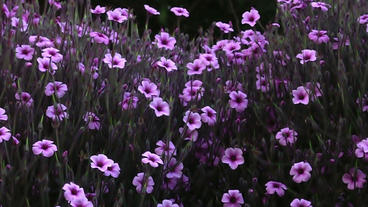 Timelapse pink flowers Footage