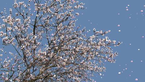 4 K Blossoming Tree Flying Petals Spring 1 GIF