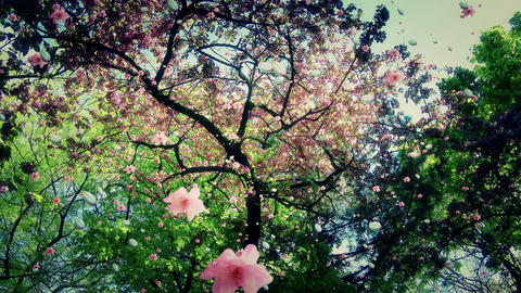 4 K Blossoming Tree Flying Petals Spring 6 Footage