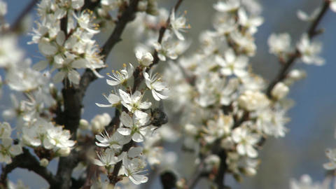 4 K Blossoming Spring Trees 8 Fly stock footage