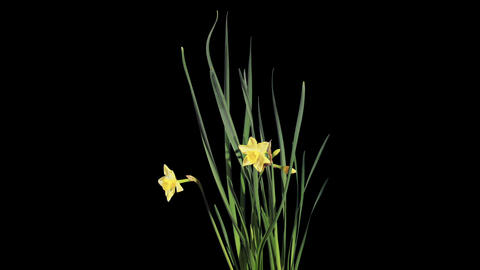 Yellow narcissus blossom buds ALPHA matte, FULL HD Footage