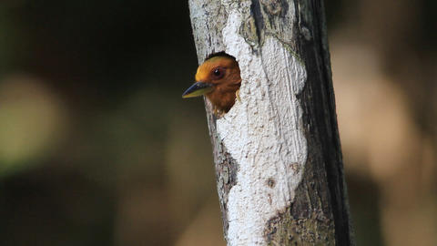 Rufous Piculet Woodpecker Footage