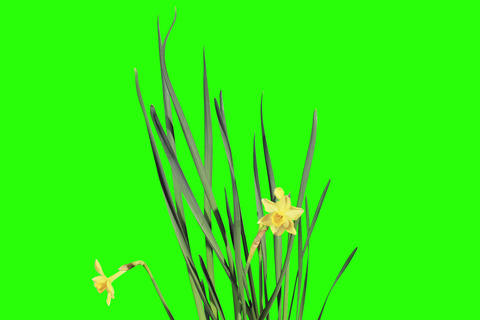 4K. Yellow narcissus blossom buds green screen, Ul Footage