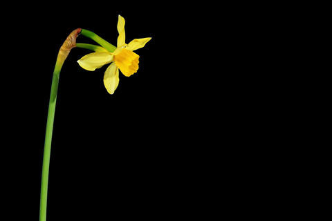 4K. Yellow narcissus blossom buds ALPHA matte, Ult Footage