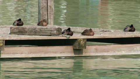 4K Dabbling Ducks On Deck 1 stock footage