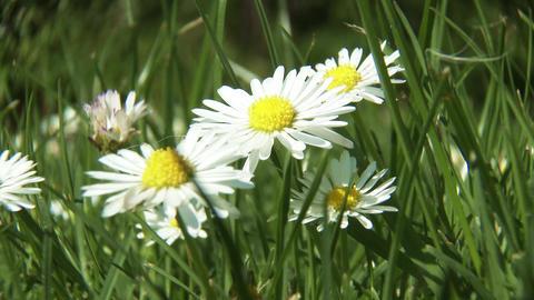 4K Meadow Margaret Flower Marguerite Leucanthemum 画像