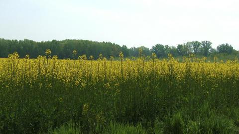 4 K Rapeseed Field Brassica Napus 3 Footage
