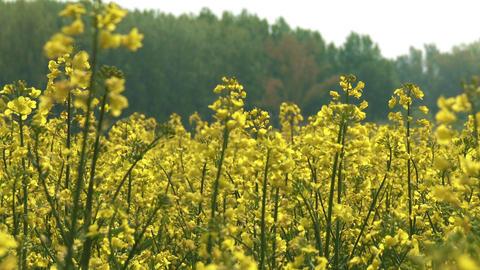 4 K Rapeseed Field Brassica Napus 5 Footage