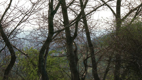 4K Spring Trees 5 Footage