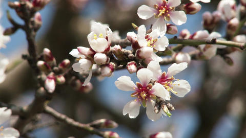 Blossoming Spring Tree 15 Footage