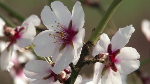 Blossoming Spring Almond Tree 20 Footage