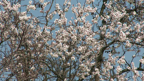 Blossoming Spring Trees 12 Footage