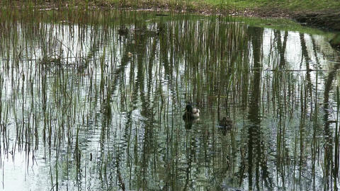 Dabbling Duck Couple Drake and Hen in Pond 1 Footage