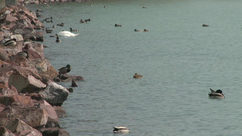 Dabbling Ducks on Lakeside Footage