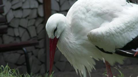 European White Stork 3 Footage