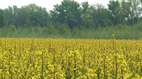 Rapeseed Field Brassica Napus 6 Footage