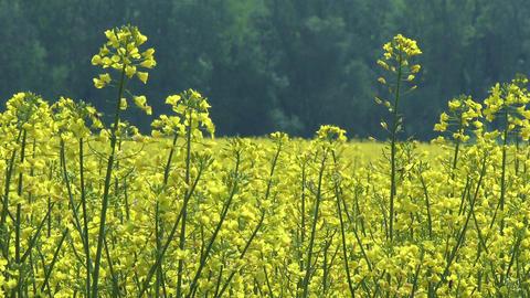 Rapeseed Field Brassica Napus 1 Footage