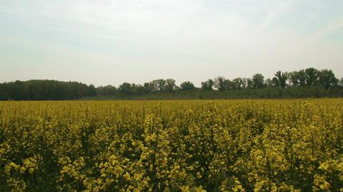 Rapeseed Field Brassica Napus 7 pan Footage