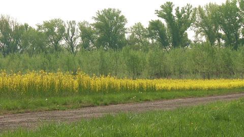 Rapeseed Field Brassica Napus 9 Footage