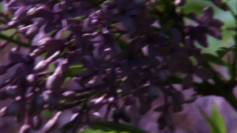 Syringa Vulgaris Lilac Spring 1 Footage
