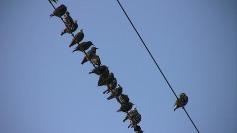 Sparrows On The Wire stock footage