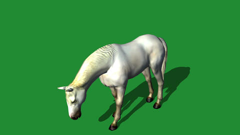 White horse grazing drink,farm animal wild life Footage