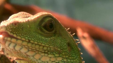 iguana head Footage