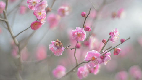 Red Plum Flowers,in Showa Kinen Park,Tokyo,Japan Footage