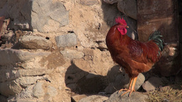 Rooster crows in Iranian village Footage