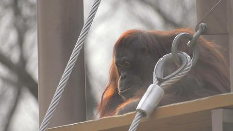 Monkey In Tama Zoo,Tokyo,Japan stock footage