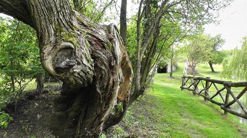 Old Tree and Path in Nature handheld Acción en vivo